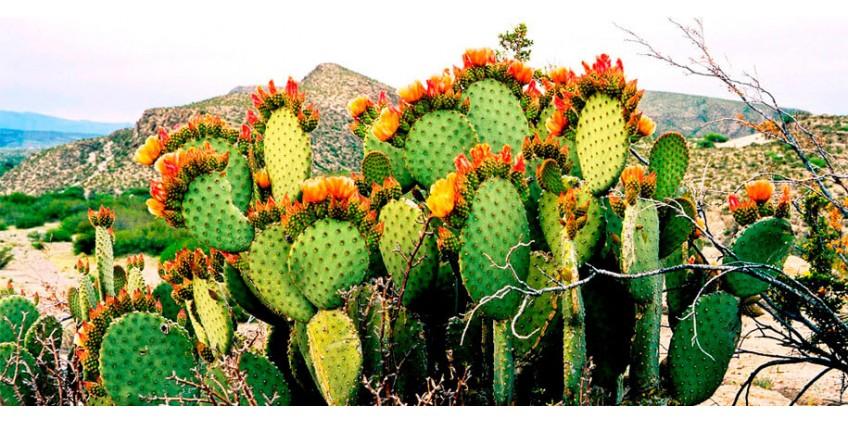 Целебные свойства цветов кактуса опунции фикус-индика